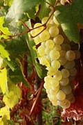 Alex Sukonkin - Ripe grapes