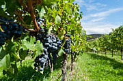 Blue Grapes Photos - Ripe grapes right before harvest in the summer sun by Ulrich Schade