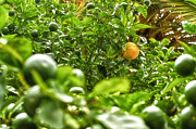 Ripe Photo Originals - Ripe tangerines in foliage by Alexandr Marynkin
