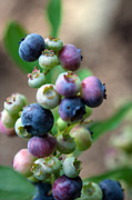 Grand Memories Posters - Ripening Blueberries Poster by John Haldane
