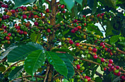 Unripe Prints - Ripening Coffee Berries Print by Jess Kraft