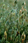 Porridge Photos - Ripening Oats by Shirley Sirois