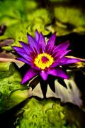 Water Lilly Photos - Rise and Shine by Scott Pellegrin