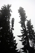 Tall Trees Framed Prints - Rising Above Framed Print by Nick Gustafson