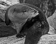 Kate Brown Framed Prints - River Otter in Black and White Framed Print by Kate Brown