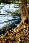 Tree Roots Photo Posters - River through woods Poster by Elena Elisseeva