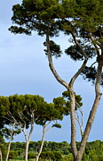 Southern France Photos - Riviera Trees by Corinne Rhode