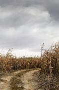 Sandra Cunningham - Road going into corn fields