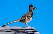Cuckoo Framed Prints - Roadrunner Framed Print by Robert Bales