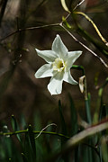 One Point Perspective Photo Posters - Roadside White Narcissus Poster by Rebecca Sherman