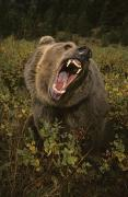 Yelling Prints - Roaring Grizzly Bear Print by Rebecca Grambo