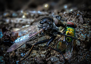 Attacking Metal Prints - Robber Fly Eating Green Bottle Fly Metal Print by Bob Orsillo