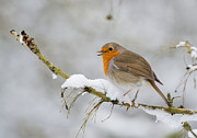 Red Bird In Snow Prints - Robin  Print by Christopher Mills