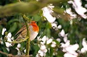 Dave Woodbridge Metal Prints - Robin  Metal Print by Dave Woodbridge