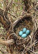LeeAnn McLaneGoetz McLaneGoetzStudioLLCcom - Robin egg nest Day 2