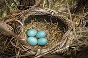 LeeAnn McLaneGoetz McLaneGoetzStudioLLCcom - Robin egg nest Day 3