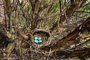 LeeAnn McLaneGoetz McLaneGoetzStudioLLCcom - Robin egg nest Day3