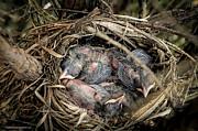 LeeAnn McLaneGoetz McLaneGoetzStudioLLCcom - Robin egg nest hatchlings