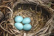 LeeAnn McLaneGoetz McLaneGoetzStudioLLCcom - Robin egg nest