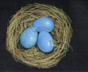 Tender Drawings Framed Prints - Robin Eggs In Nest Framed Print by Joyce Geleynse