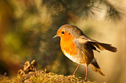 Izzy Art - Robin in sunlight by Izzy Standbridge