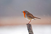 Sleet Photos - Robin in the snow by Margaret S Sweeny