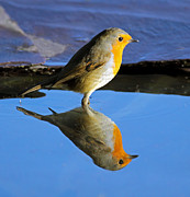 Reflection In Water Prints - Robin in water Print by Grant Glendinning
