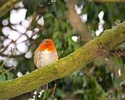 Robin On Branch Print by Dave Woodbridge