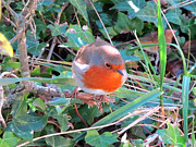 Art Photography Prints - Robin Readbreast Print by Art Photography