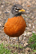 Laura Mountainspring - Robin RedBreast