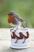 Feeding Photo Metal Prints - Robin Redbreast Metal Print by Tim Gainey