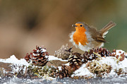 Izzy Art - Robin snow with fir cones by Izzy Standbridge
