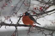 Robin Winter Print by Alicia Knust