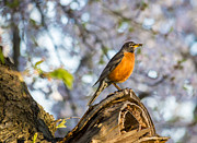 Tracy Munson Metal Prints - Robin with cherry blossoms Metal Print by Tracy Munson