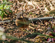 Allen Sheffield - Robin with Twigs