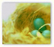 Warm Pastels Posters - Robins Eggs In Nest Poster by Rosemarie E Seppala