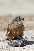 Science Photo Library - Rock kestrel feeding on...