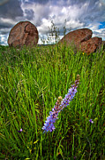 Wildflowers Prints - Rock N the Lupine Print by Peter Tellone