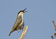 Singing Photo Originals - Rock Nuthatch by Dilsad Gungor