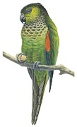 Birds Drawings - Rock parakeet by Anonymous