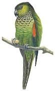 Rock Parakeet Print by Anonymous