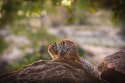 Bushy Tail Photos - Rock Squirrel in Zion by Robert Bales