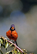 Bird Watching Prints - Rockin Robin Print by Skip Willits