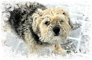 Border Terrier Digital Art Posters - Rocky in the Snow Poster by Digital Designs By Dee