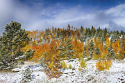 Snow Tree Prints Metal Prints - Rocky Mountain Autumn Storm Metal Print by James Bo Insogna