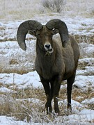 Michelle Frizzell-Thompson - Rocky Mountain Big Horn...