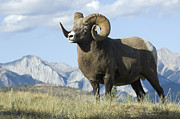 Canadian Rockies Posters - Rocky Mountain Big Horn Sheep Poster by Bob Christopher