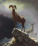 Bierstadt Prints - Rocky Mountain Big Horn Sheep Print by Pg Reproductions