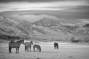 White Horses Framed Prints - Rocky Mountain Country Morning BW Framed Print by James Bo Insogna