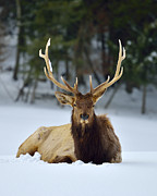 Joshua Mccullough Photography Prints - Rocky Mountain Elk Print by Joshua McCullough